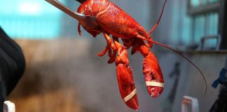Is there a humane way to boil lobsters alive? One woman thinks it's by getting them high.