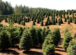 The cost of real Christmas trees is on the rise — thanks to millennials
