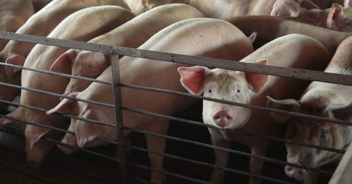 A Novocaine shortage in the UK is affecting an unexpected group: farm animals