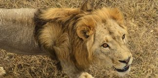 A Man in Pakistan Unleashed His Pet Lion on a Handyman Who'd Asked to be Paid