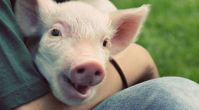 An easy way to make piglet lives better