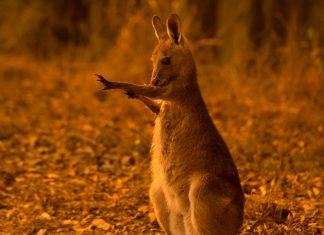 With Australia Ablaze, These Animals Are Still In Danger