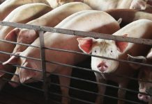 The closure of meatpacking plants will lead to the overcrowding of animals. The implications are horrible.