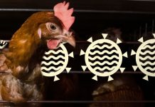 The next pandemic could come from factory farms