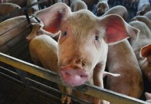 Why North Carolina has giant lagoons of pig poop