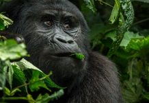 Fewer than 1,000 mountain gorillas remain in the wild. What happens if they get Covid-19?